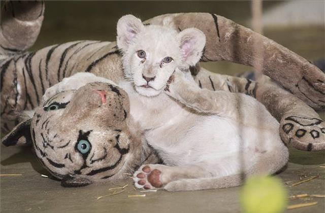 Találó nevet kapott a nyíregyházi fehér oroszlán