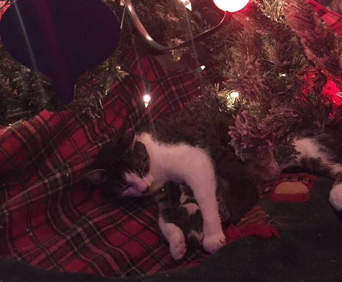 Tökéletes karácsonyi ajándék: a fa alatt hozta világra kölykeit a befogadott cica