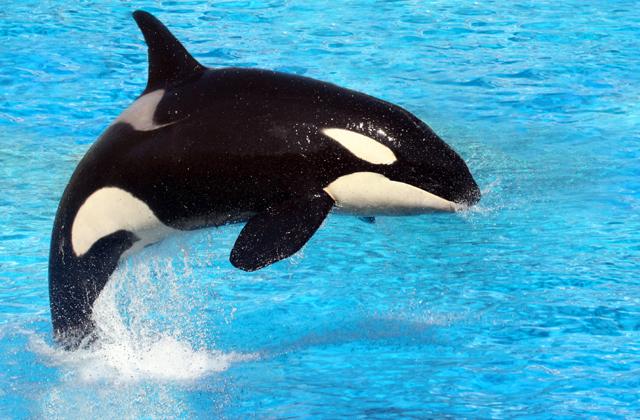 Véget vetnek a kardszárnyú delfinek kínzásának Kaliforniában