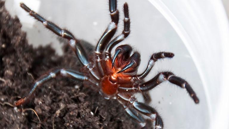A tölcsérhálós pók mérge ellen már van hatékony ellenszer (Fotó: Tumblr)