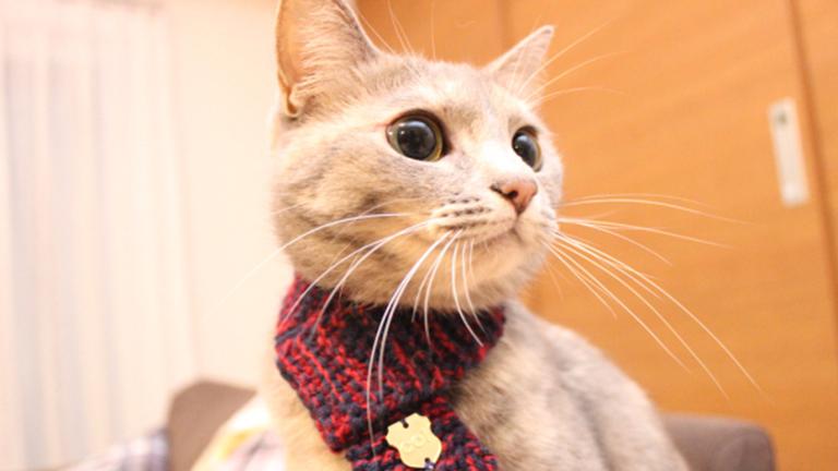 Macskasálban parádéznak a japán cicák
