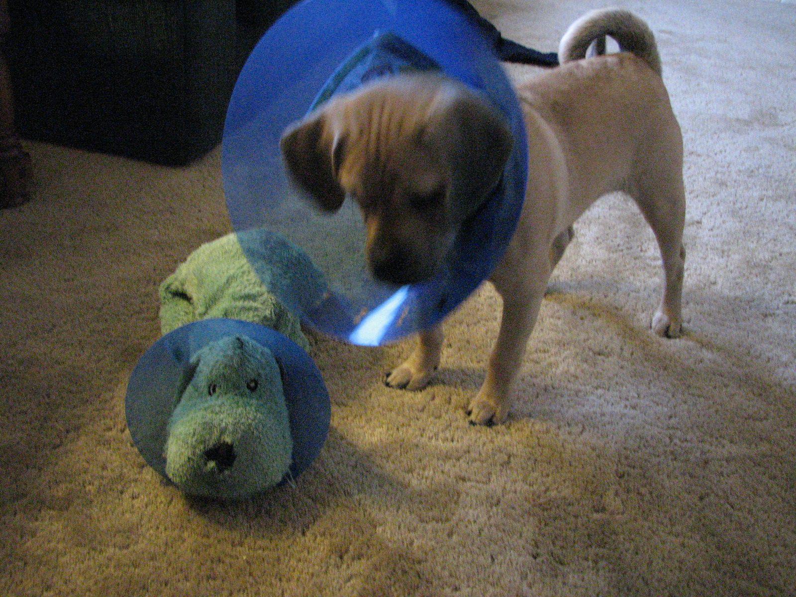 Kutyák, akik méltósággal viselik a védőgallért
