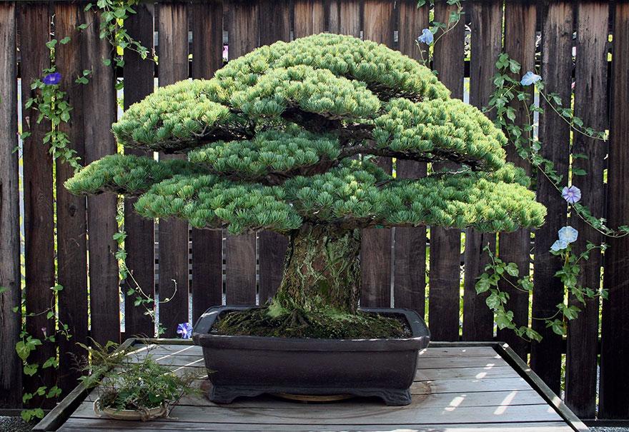 A csodaszép bonsaiért - így gondozd a törpefádat!