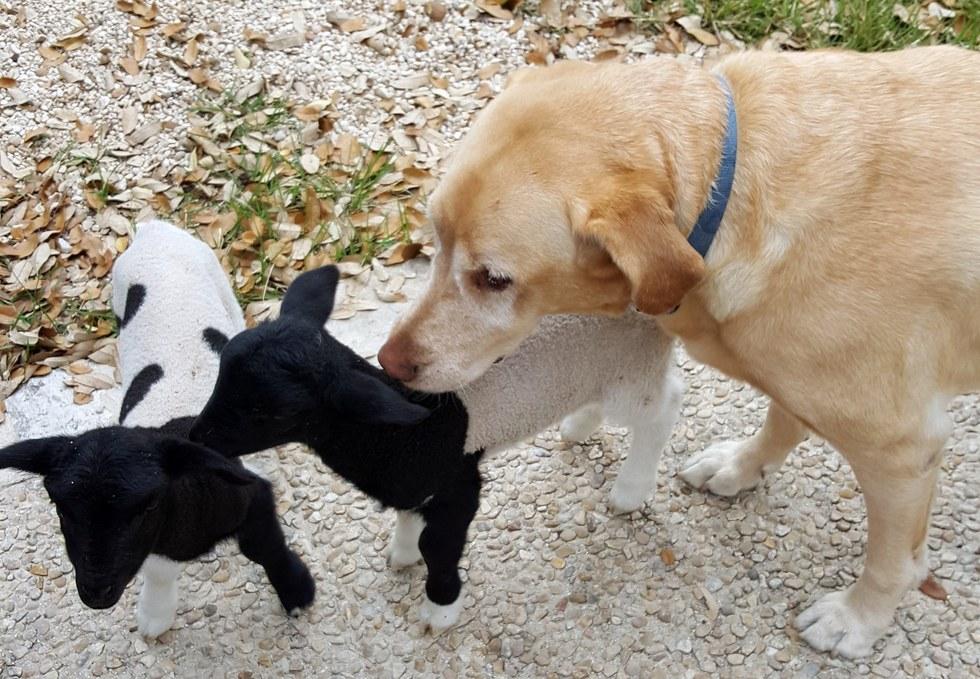 Egy labradort választottak pótpapának az elárvult bárányok