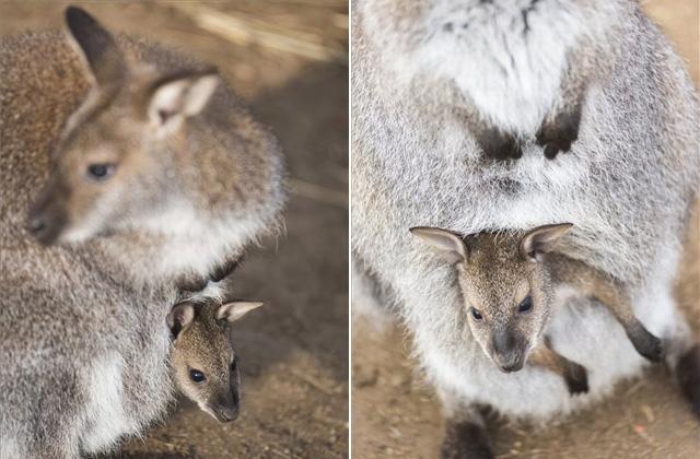 Babyboom volt a nyíregyházi kenguruknál - fotók