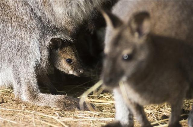 Babyboom növelte a létszámot a nyíregyházi kenguruknál - fotók