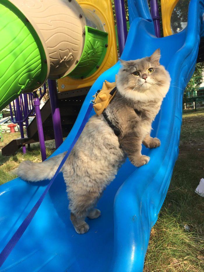 Thaiföld legnagyobb sztárja egy nagydarab szőrös macska