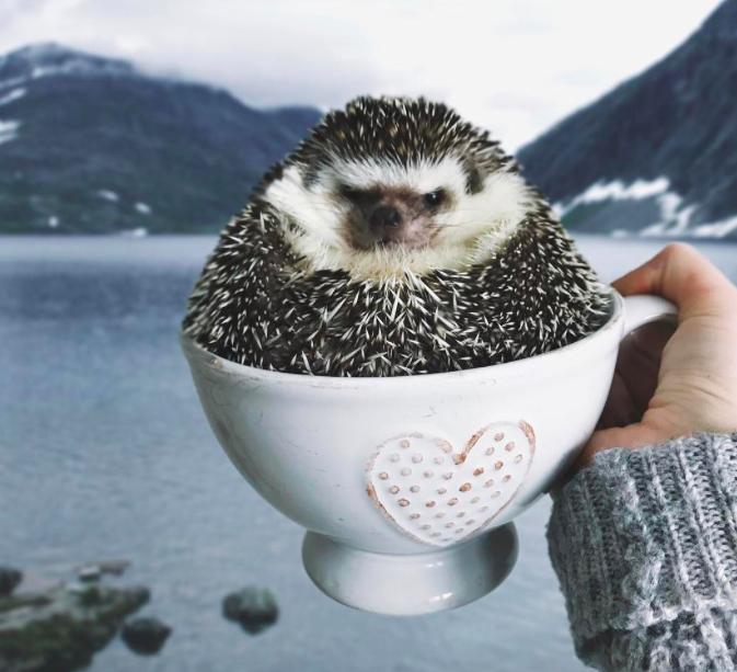 Csak 10 kép, ami bebizonyítja, hogy a sünik feldolgozhatatlanul aranyosak