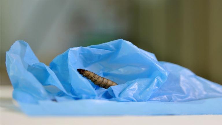 Felfedezték a lárvát, ami megeszi a műanyagzacskót