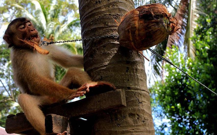 Így tanítják be a makákókat a kókuszdió szüretelésére (Fotó: Tumblr)