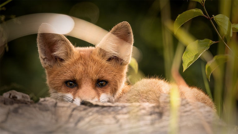 Egy kártékony róka - forrás: pixabax.com