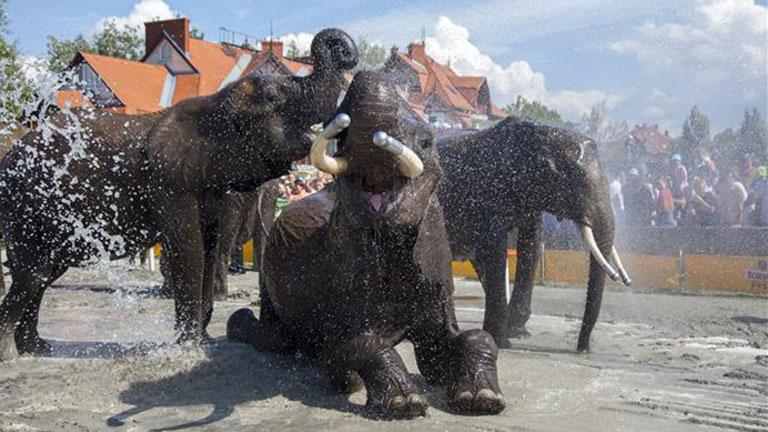 A Magyar Nemzeti Cirkusz elefántjait fürdetik a Cirkuszok éjszakája rendezvényen Balatonlellén - MTI Fotó: Varga György