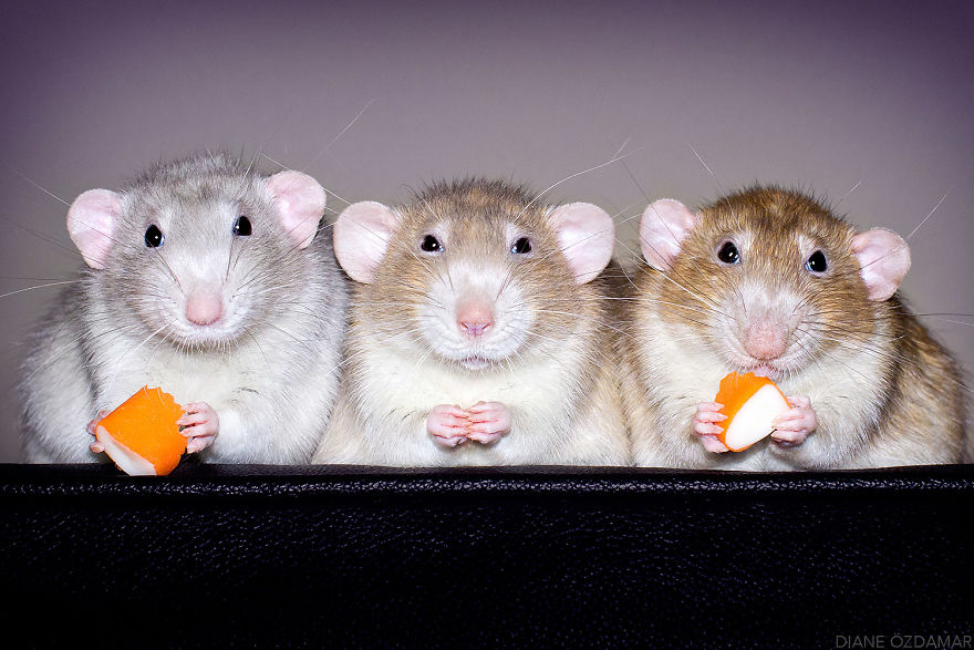 Ezek a fotók bebizonyítják, hogy a patkányok igenis cukik