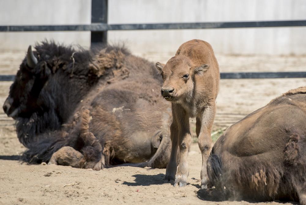 Amerikai bölényborjú (Bison bison) a pécsi állatkerben 2017. július 20-án. Aranka és Brutus negyedik borja július 15-én született. MTI Fotó: Sóki Tamás