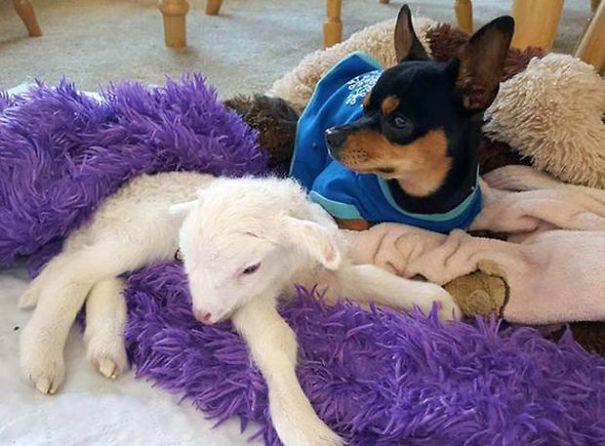 Plüssbáránnyal vigasztalják a kutyust, aki elveszítette legjobb barátját