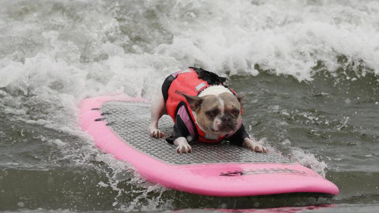 5f0abcc7b9 Íme a bizonyíték, hogy nagyon kevés dolog jobb a szörföző kutyáknál ...