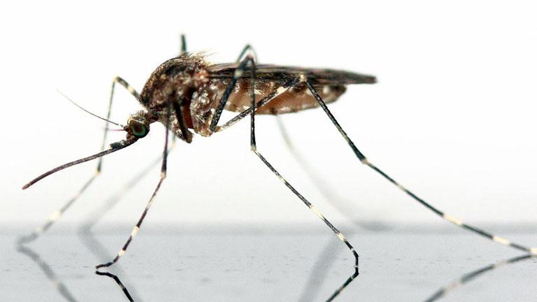 Szúnyogok terjesztik a nyugat-nílusi lázat