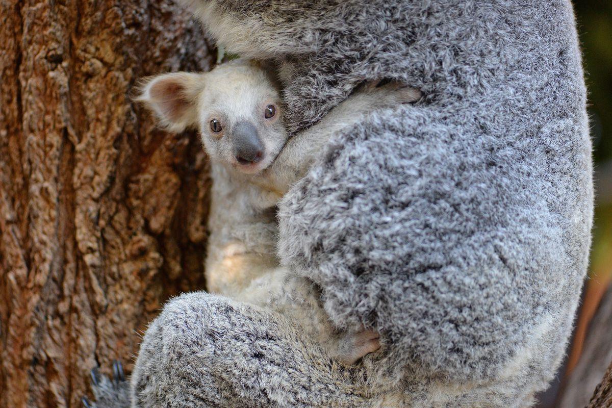 Ritka fehér koala született - cuki fotók
