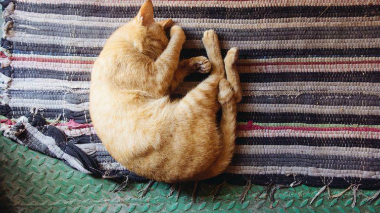 alvó macska