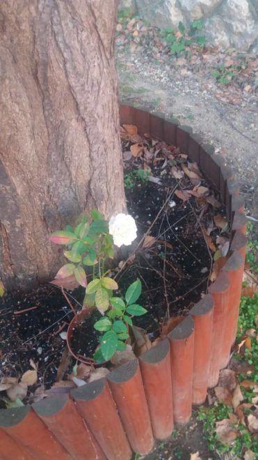 téeln nyíló rózsa