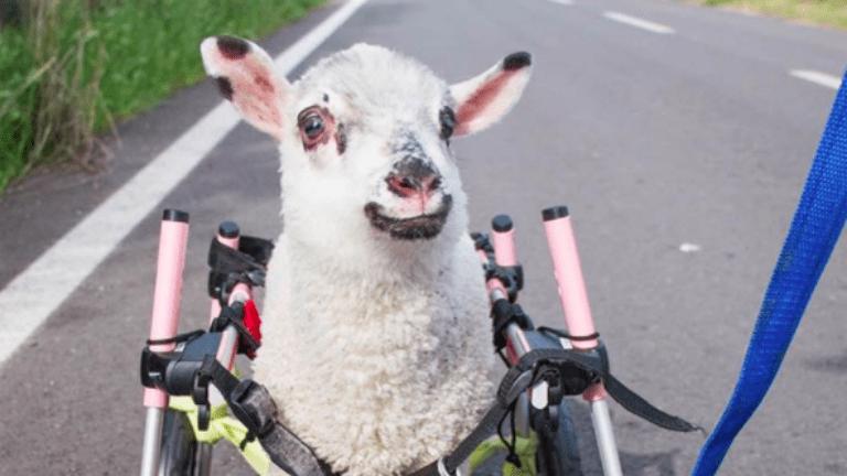 bárány, állatmentés
