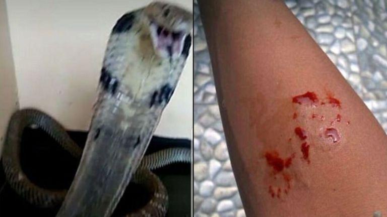 Kobra, kígyómarás (forrás: AsiaWire)