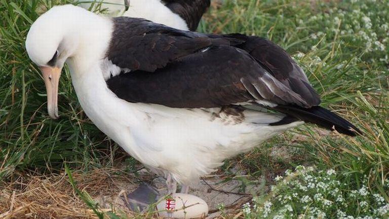 Wisdom, albatrosz (forrás: Jodie Spross/USFWS)