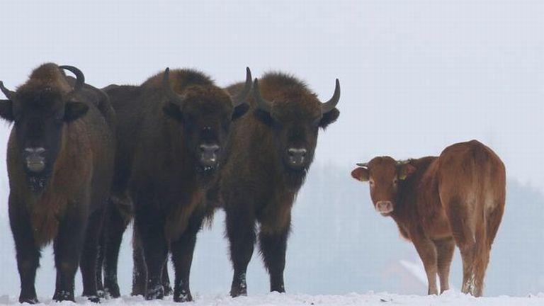 tehén, bölény (fotó: Rafal Kowalczyk)