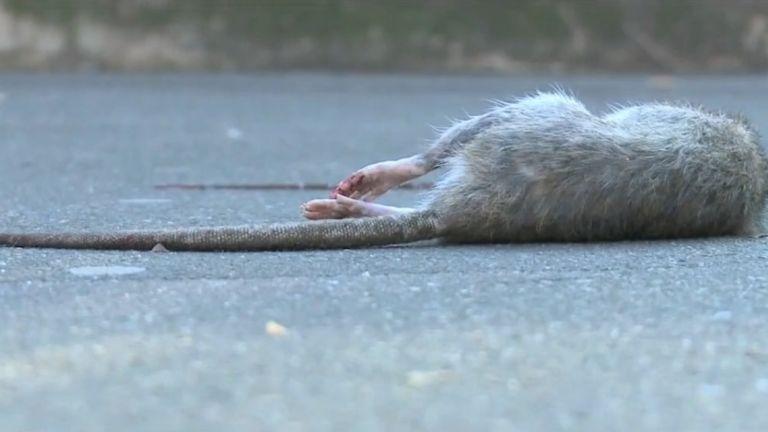 halott patkány (forrás: TV2)