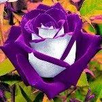 rózsa szerelem személyiség teszt