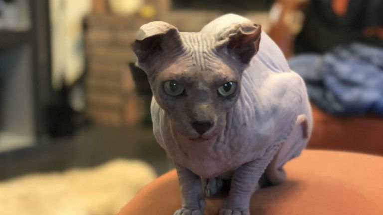 macska szépségverseny, paralimpia, cica