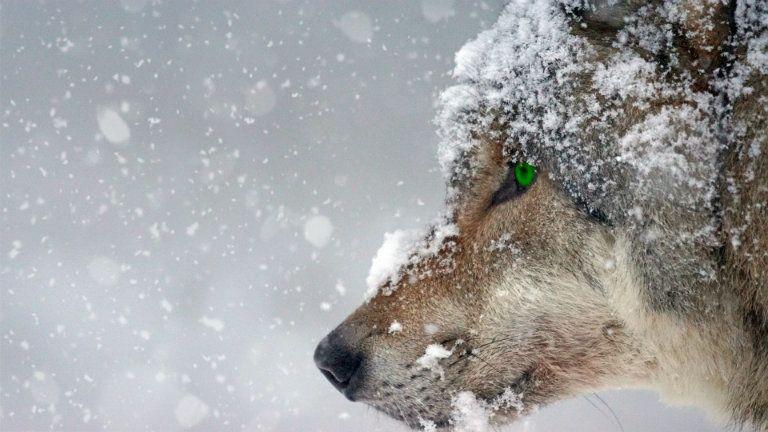A farkas a falka fontosságára figyelmeztet. Képünk illusztráció. (Fotó: Pexels)
