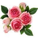 virágok személyiség teszt rózsa