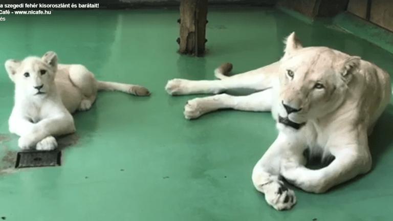 szegedi vadaspark fehér oroszlán videó