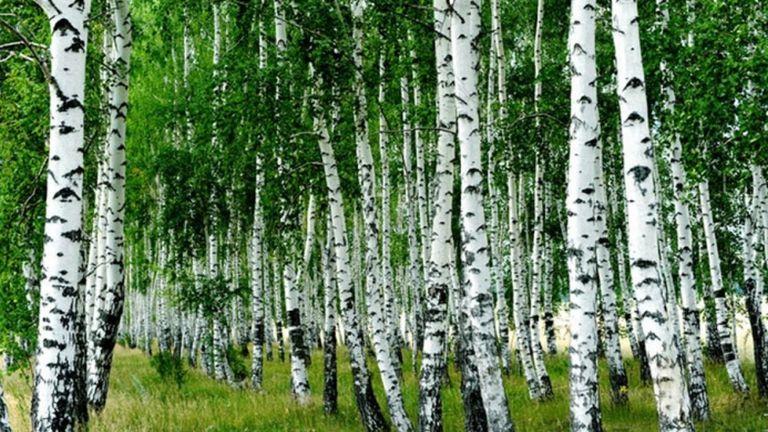 Nyírfaerdő (forrás: Pinterest)