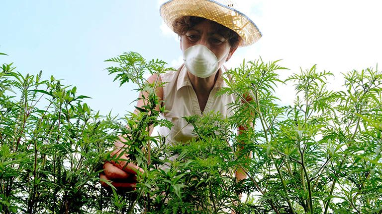 egészség allergia nátha megfázás pollen