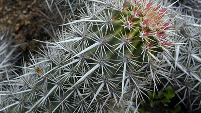 Víz kaktusz fogyni. Carlos abehsera német csodák nélkül lefogy