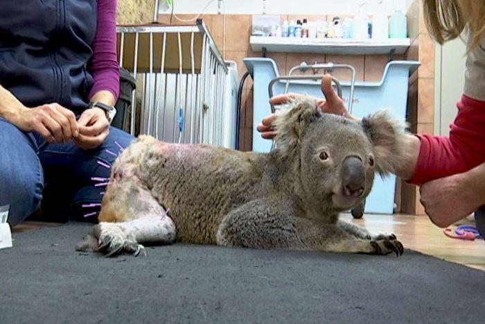 bruiser koala kutyatámadás gyógyulás akupunktúra