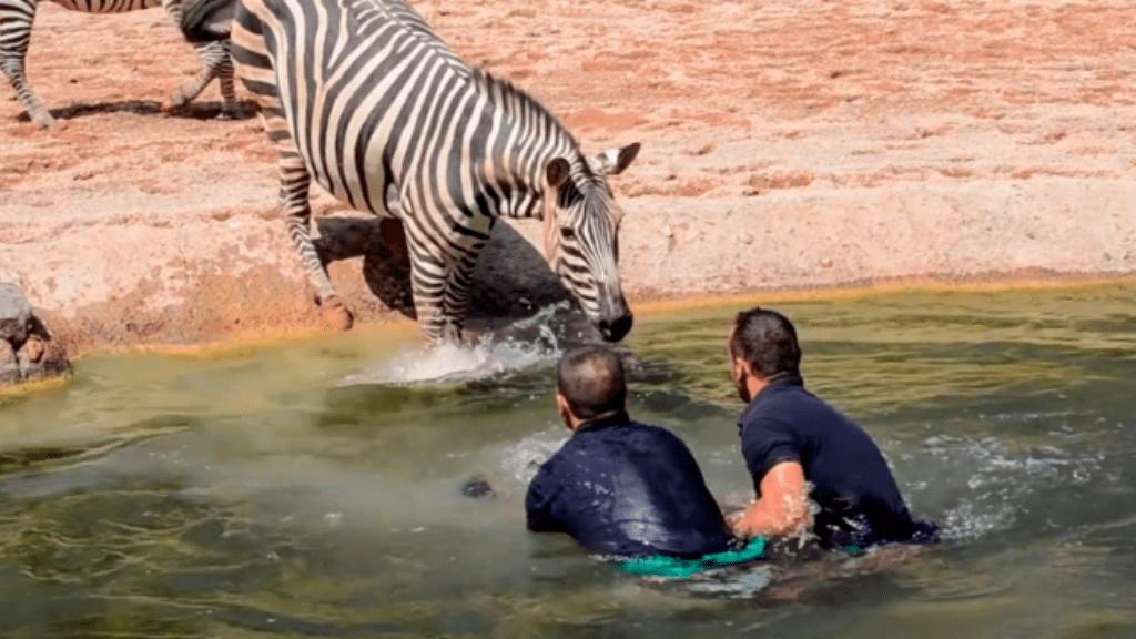 zebra életmentés videó