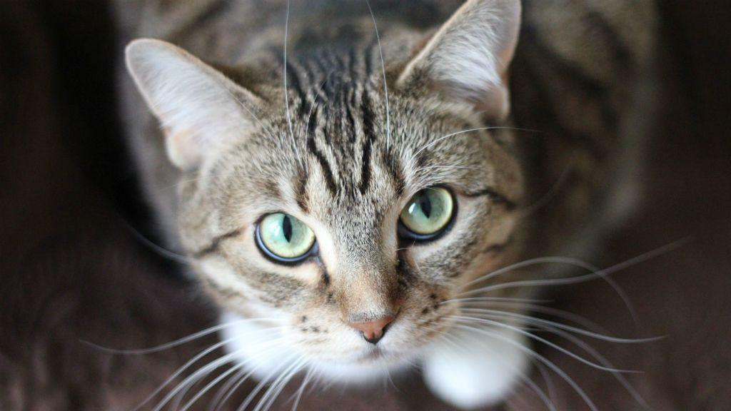 macska, cica
