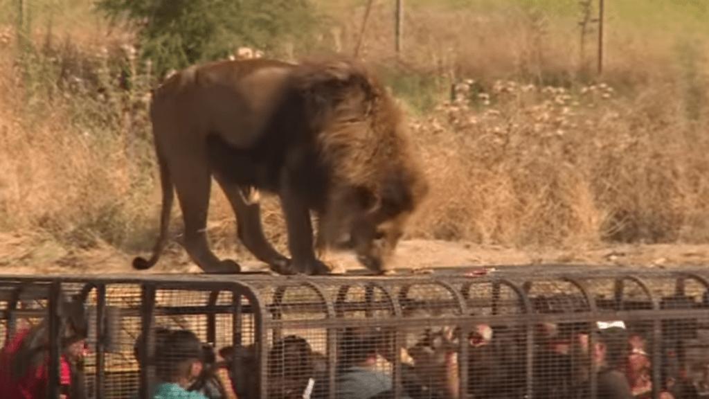oroszlán, állatpark