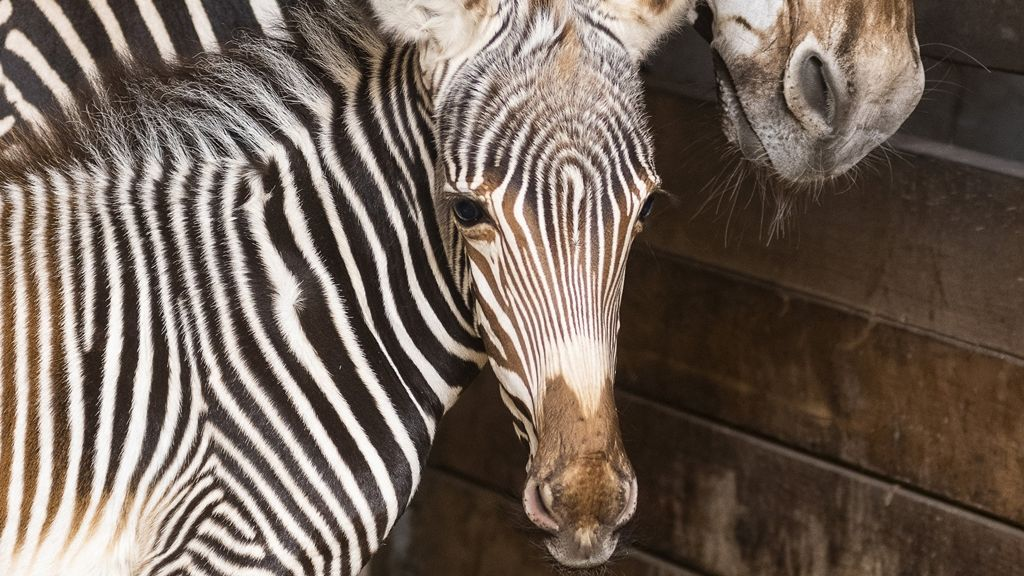 Egy sima zebra (fotó: MTI/Balázs Attila)