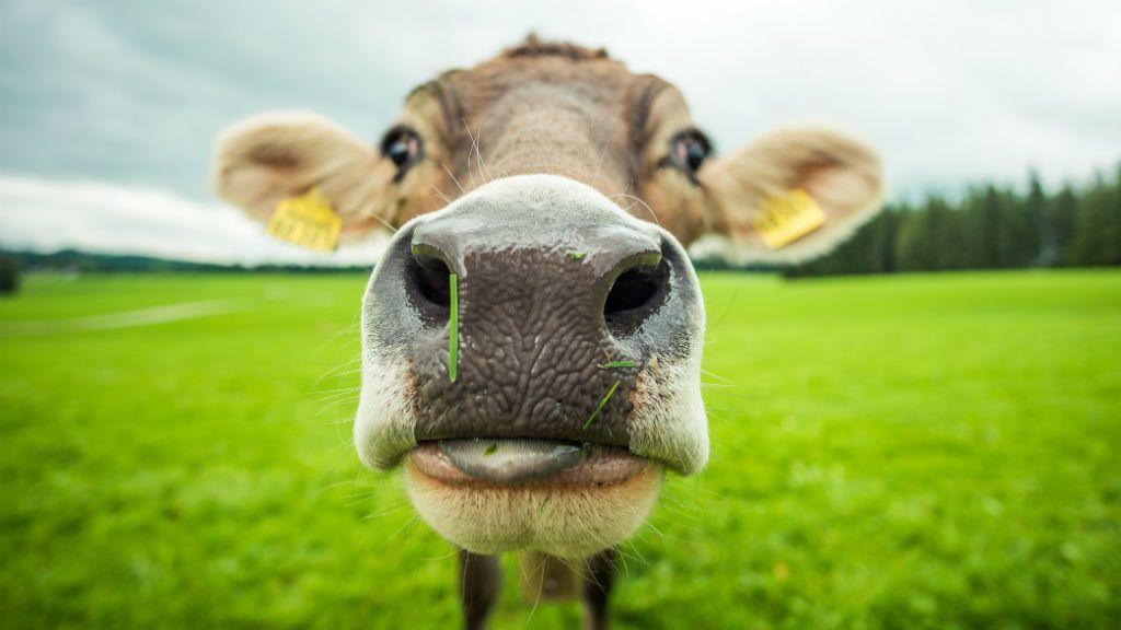 Levágták a tehenüket, lépfenével fertőződtek meg Békésben