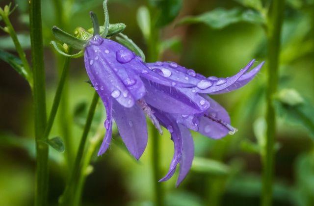 virágok jóslat virágnyelv harangvirág