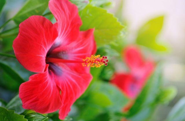 virágok jóslat virágnyelv hibiszkusz