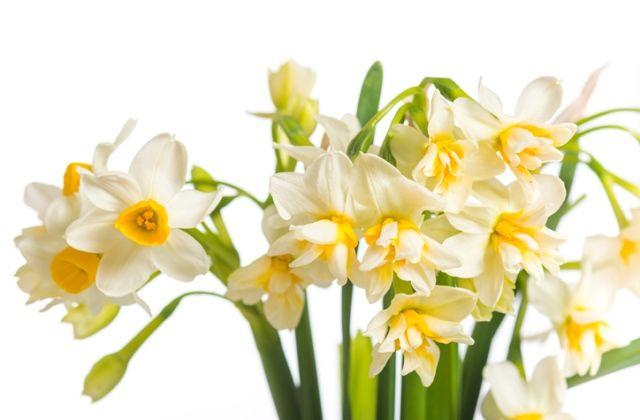 virágok jóslat virágnyelv nárcisz