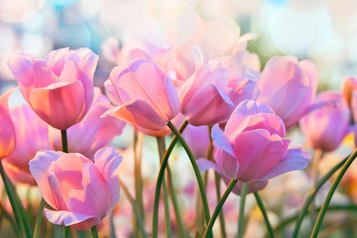 virágok jóslat virágnyelv tulipán