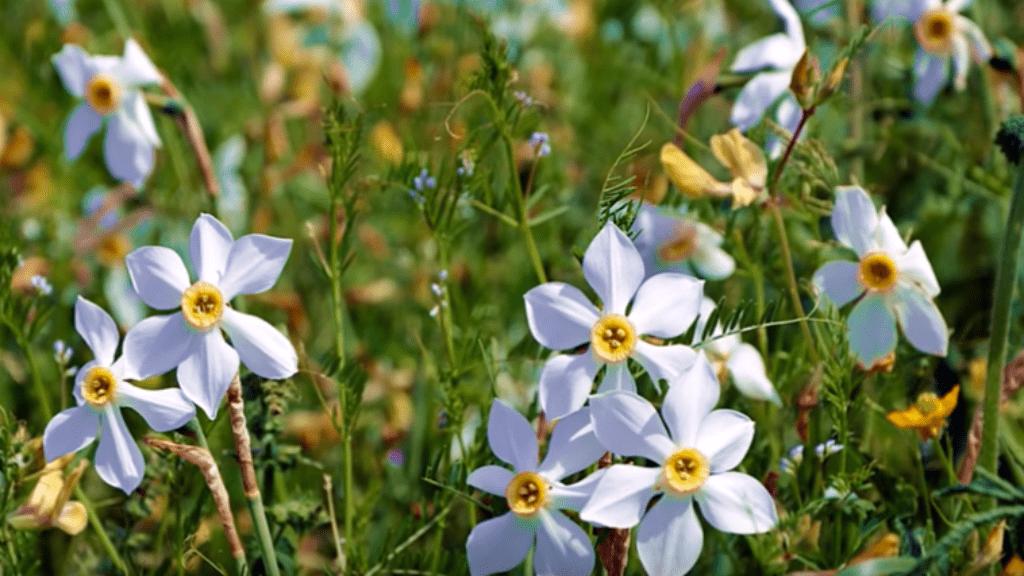 nárcisz babócsa duna-dráva nemzeti park
