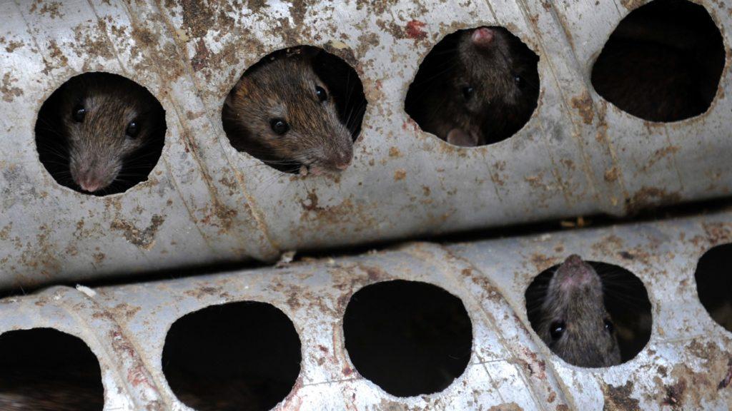 háziállat patkány fogyás)