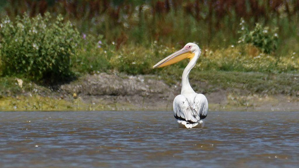 rózsás gödény pelikán